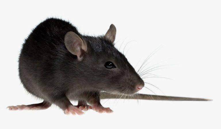 Черные крысы - фото и описание