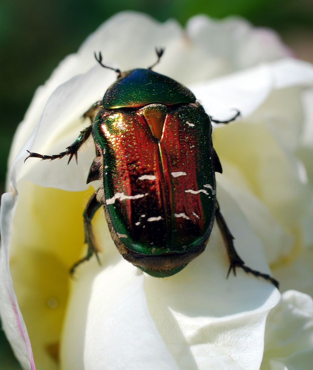 Йод от личинок майского жука. вред для растений