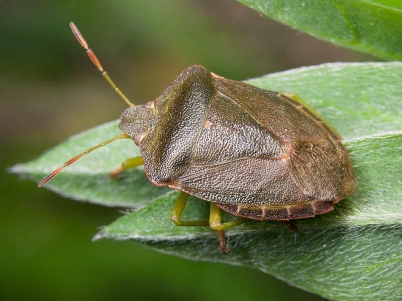 Клоп щитник — описание представителей полужесткокрылых