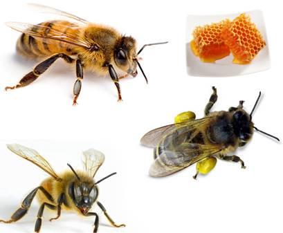 Сообщение пчелы, осы, шмели 1, 2, 3, 7 класс окружающий мир доклад