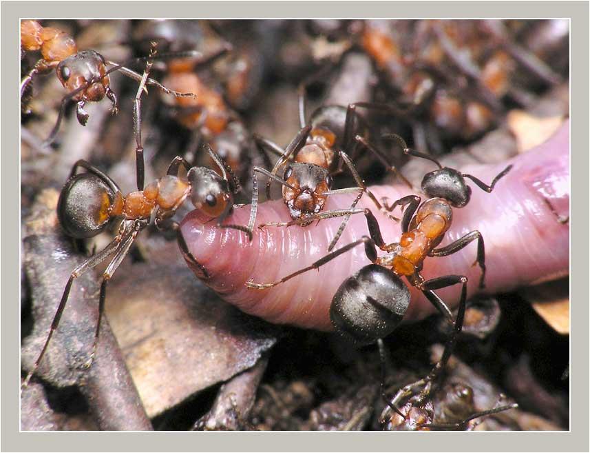 Откуда берутся муравьи с крыльями и что с ними делать