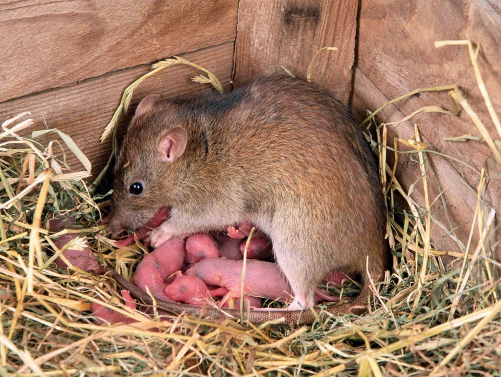 Уход за крысами: особенности содержания, чем кормить,