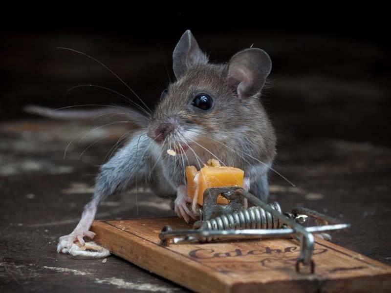 Преодоление боязни мышей