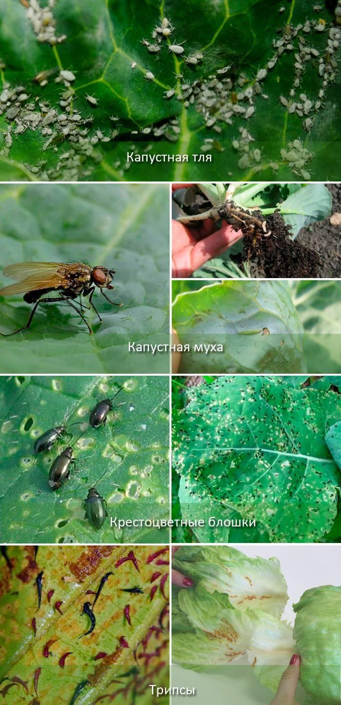 Капустная муха: как с ней бороться