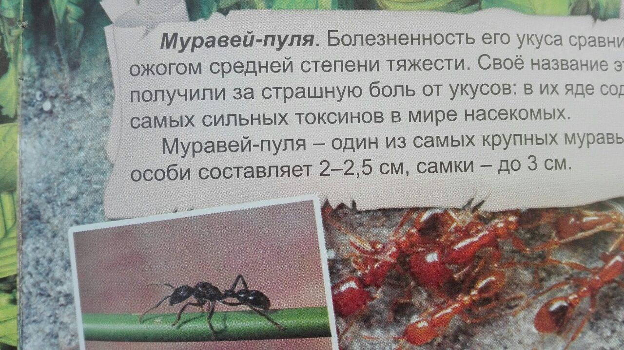 Муравьи убийцы -– самые опасные муравьи в мире
