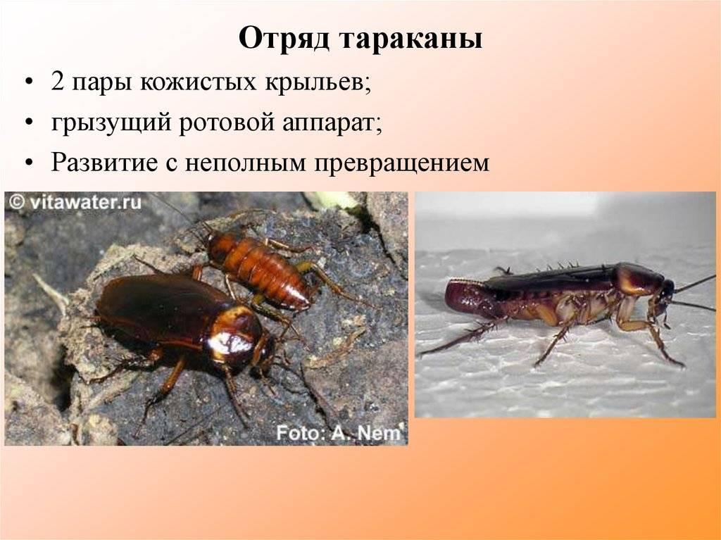 Какие виды тараканов обитают в квартире: черный, рыжий и среднеазиатский
