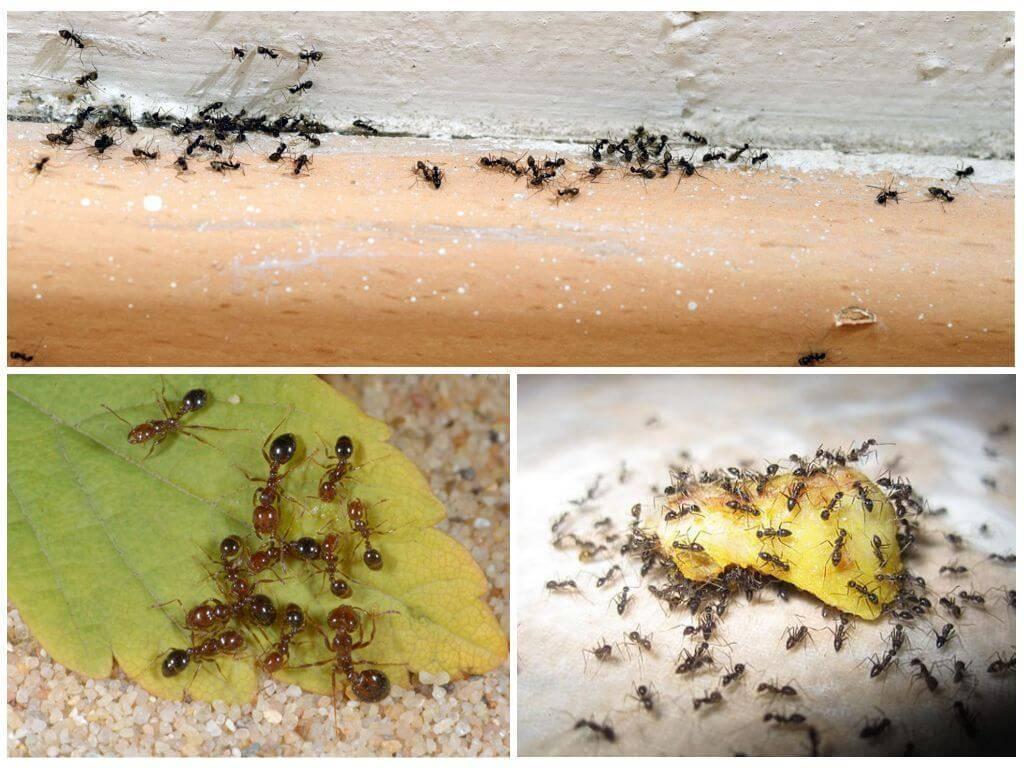 Как избавиться от муравьев в доме навсегда – проверенные способы уничтожения . милая я
