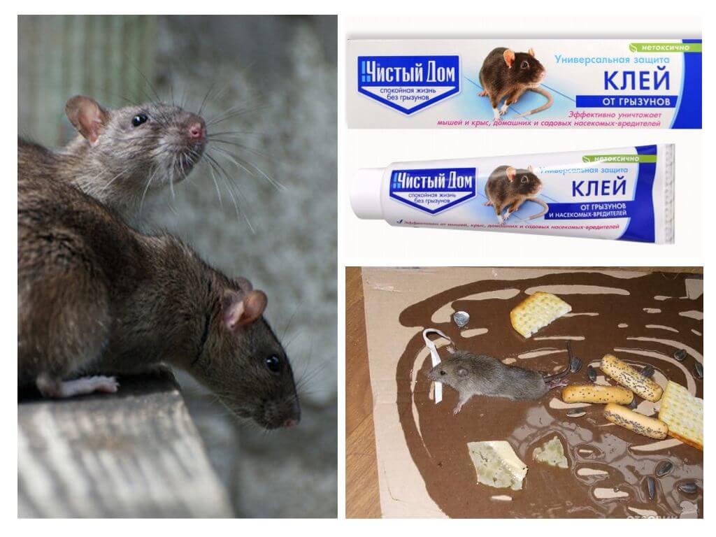 Клей против крыс мышей и других грызунов: как отмыть от поверхности и кота