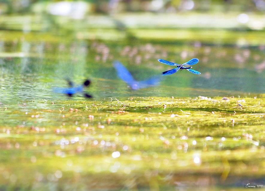 Стрекоза плоская   мир животных и растений