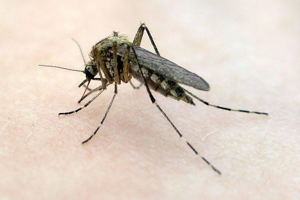 Как размножаются комары- описание каждого этапа