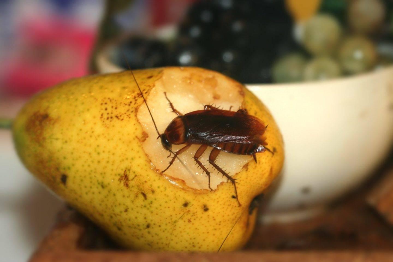 Что едят тараканы в квартире