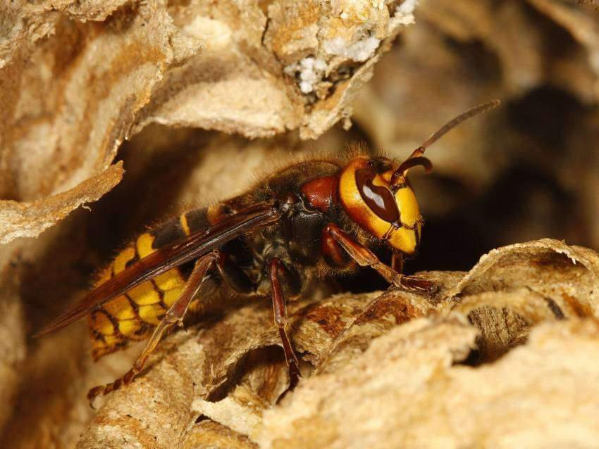 ✅ всё о шершнях: виды, как выглядят, сколько живут и чем питаются, размеры, отличия от осы и пчелы, фото - tehnoyug.com