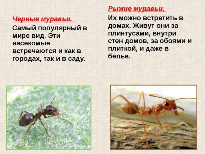 Рыжий или малый лесной муравей — особенности и описание.