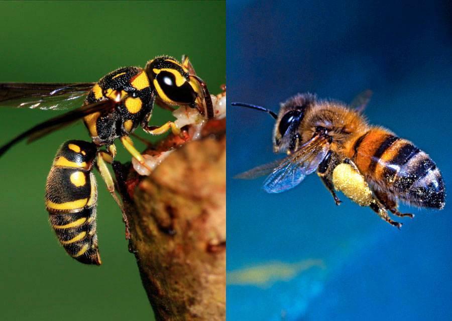 Чем отличается оса от пчелы и шмеля