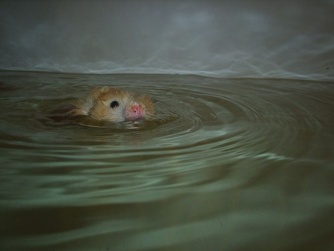 Плавают ли морские свинки