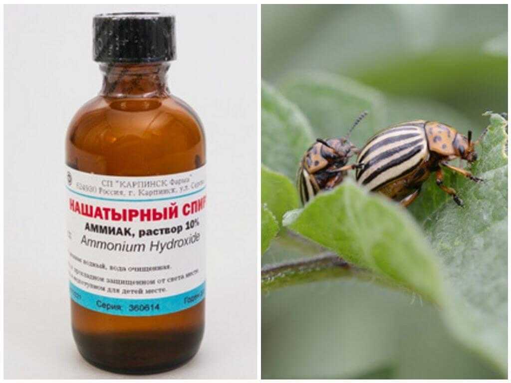 Горчица и уксус от колорадского жука: как разводить и применять, отзывы