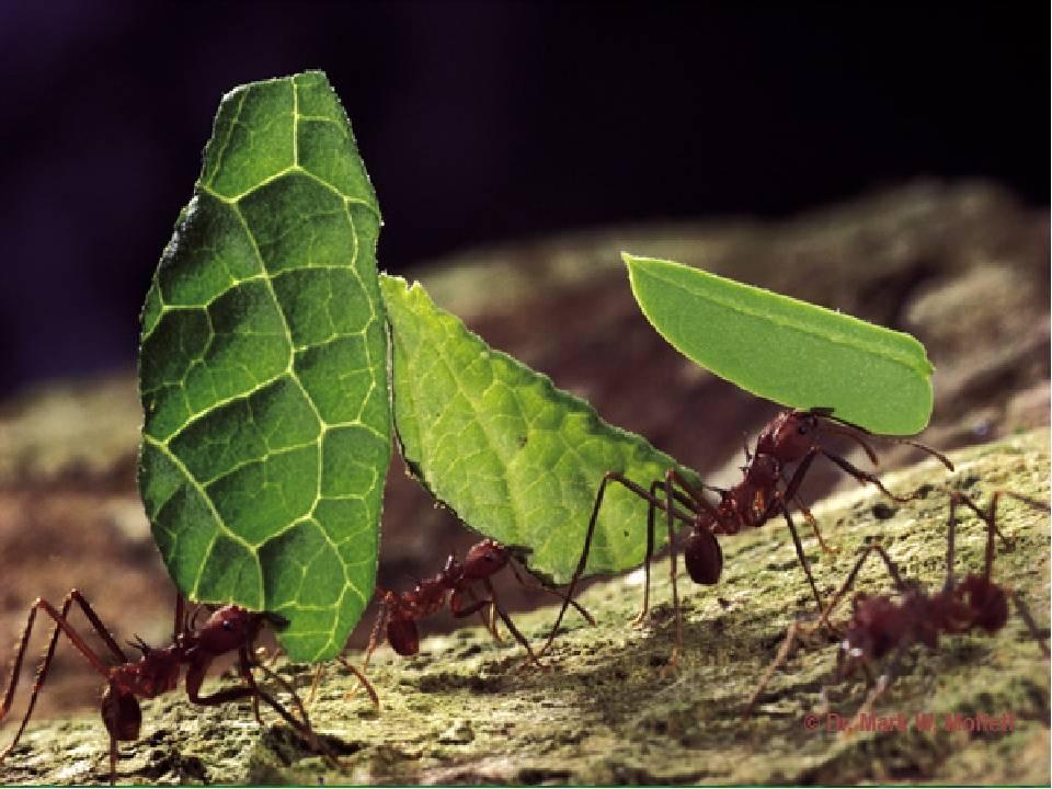 Чем питаются муравьи? описание, фото и видео