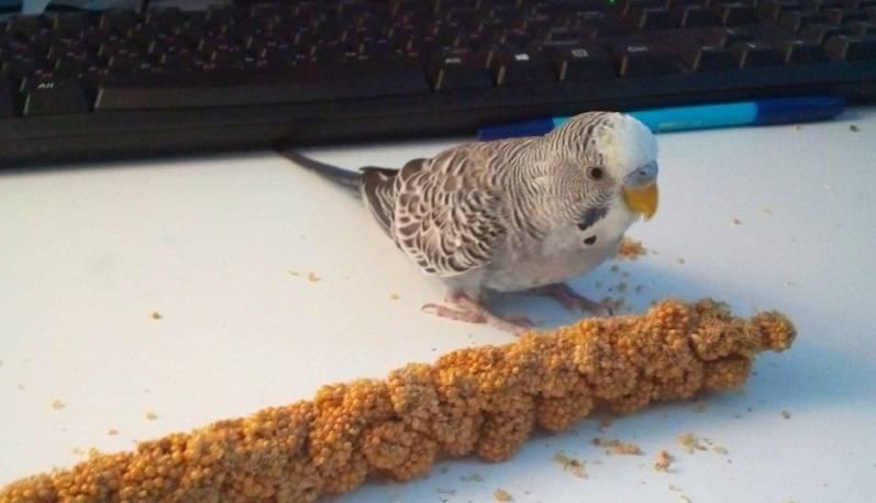 Блохи у волнистых попугаев: симптомы, опасность, лечение