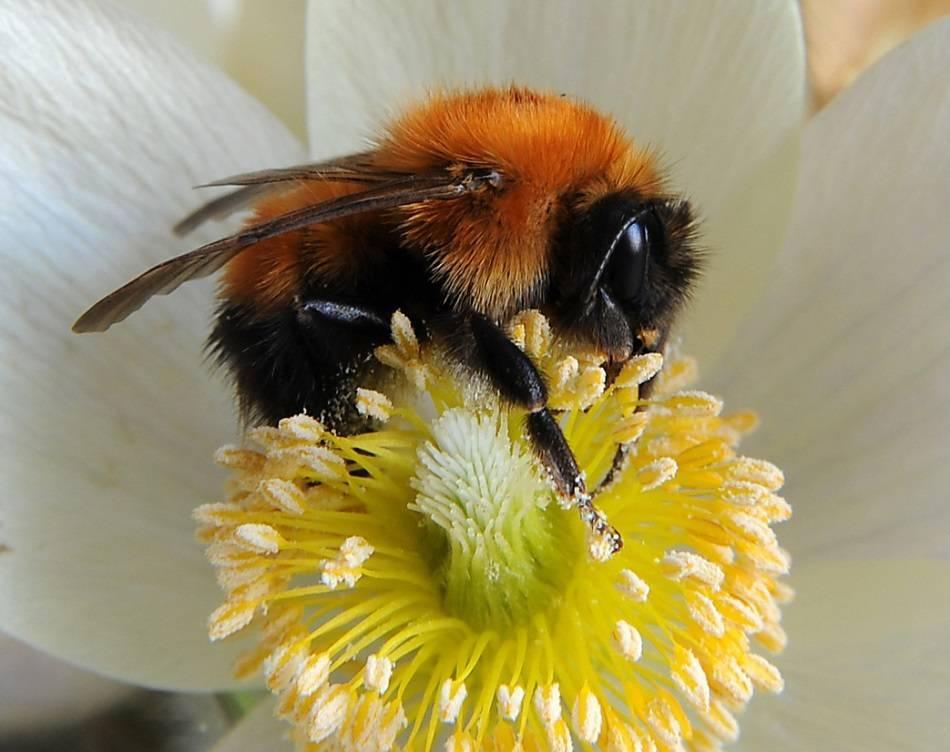 Усач мускусный: фото и образ жизни пахучего жука