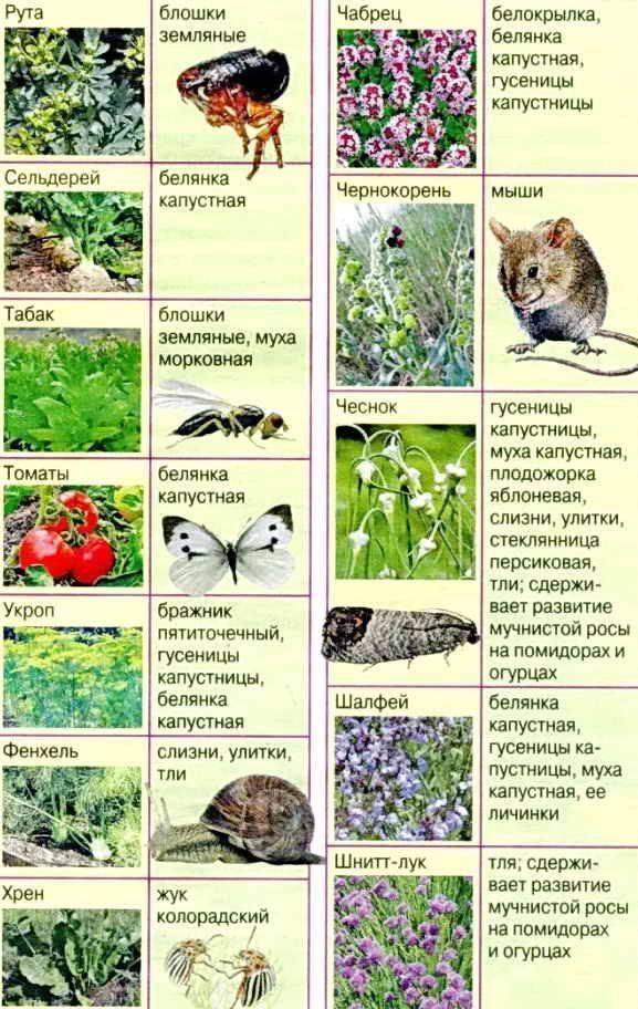 Комары на участке. какие растения не любят комары