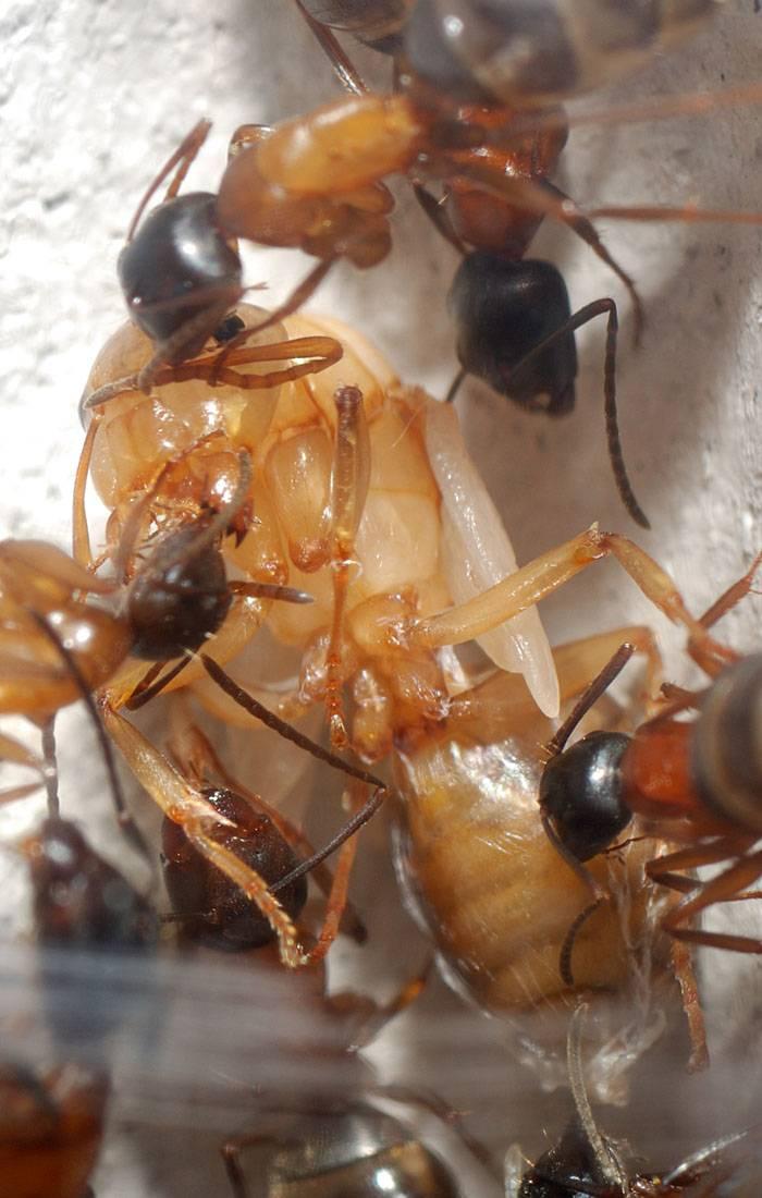 Как выглядит матка домашних муравьев?