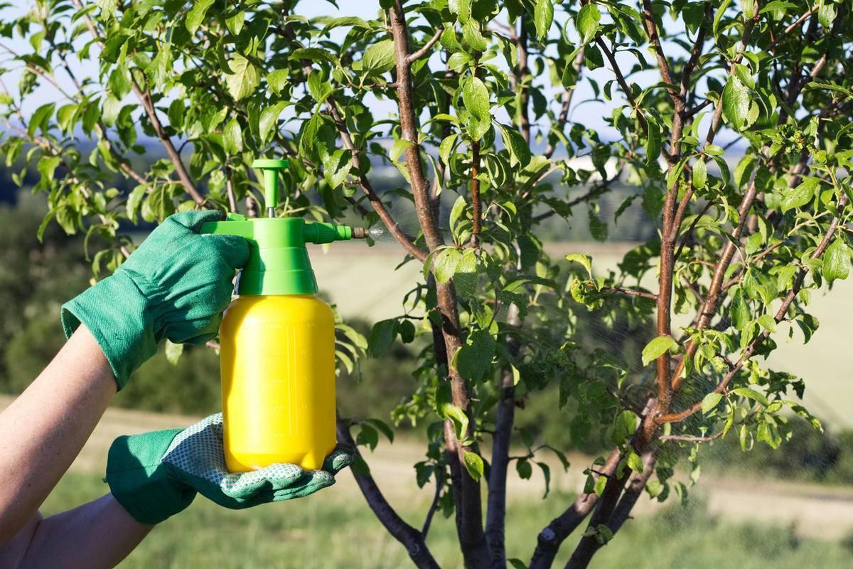 Как бороться с тлей на сливе и чем обработать химическими и народными средствами