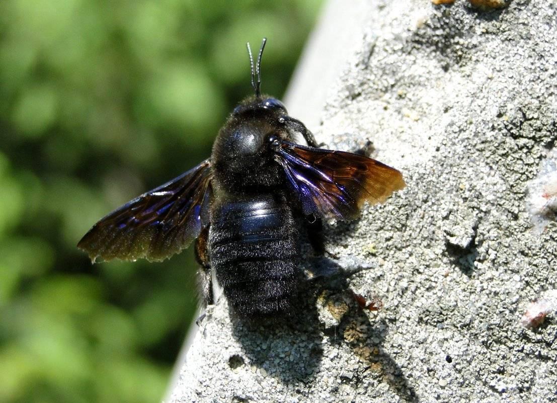 Как дрель работает. какие гнёзда строит пчела-плотник. новости общества