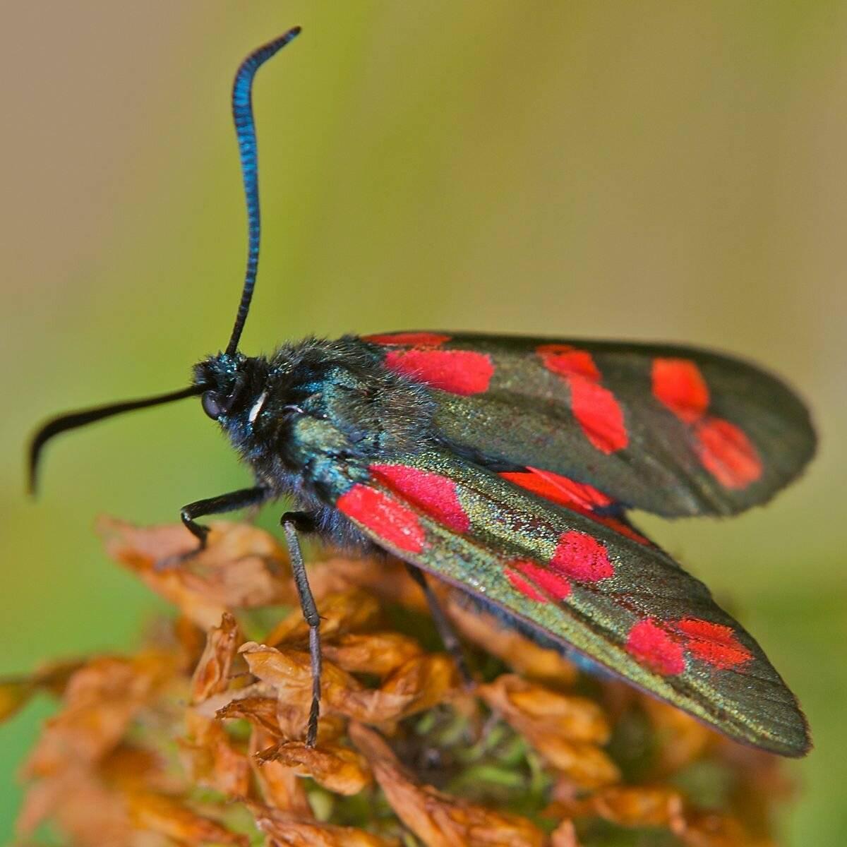 Бабочка пестрянка - описание, среда обитания, виды