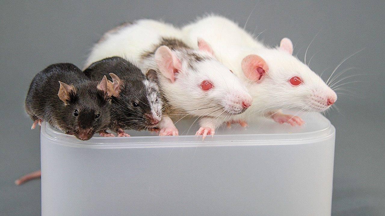 Белая крыса домашняя (альбинос): все о декоративном грызуне