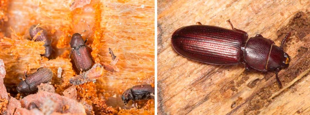 Как избавиться от жука точильщика в доме народными средствами