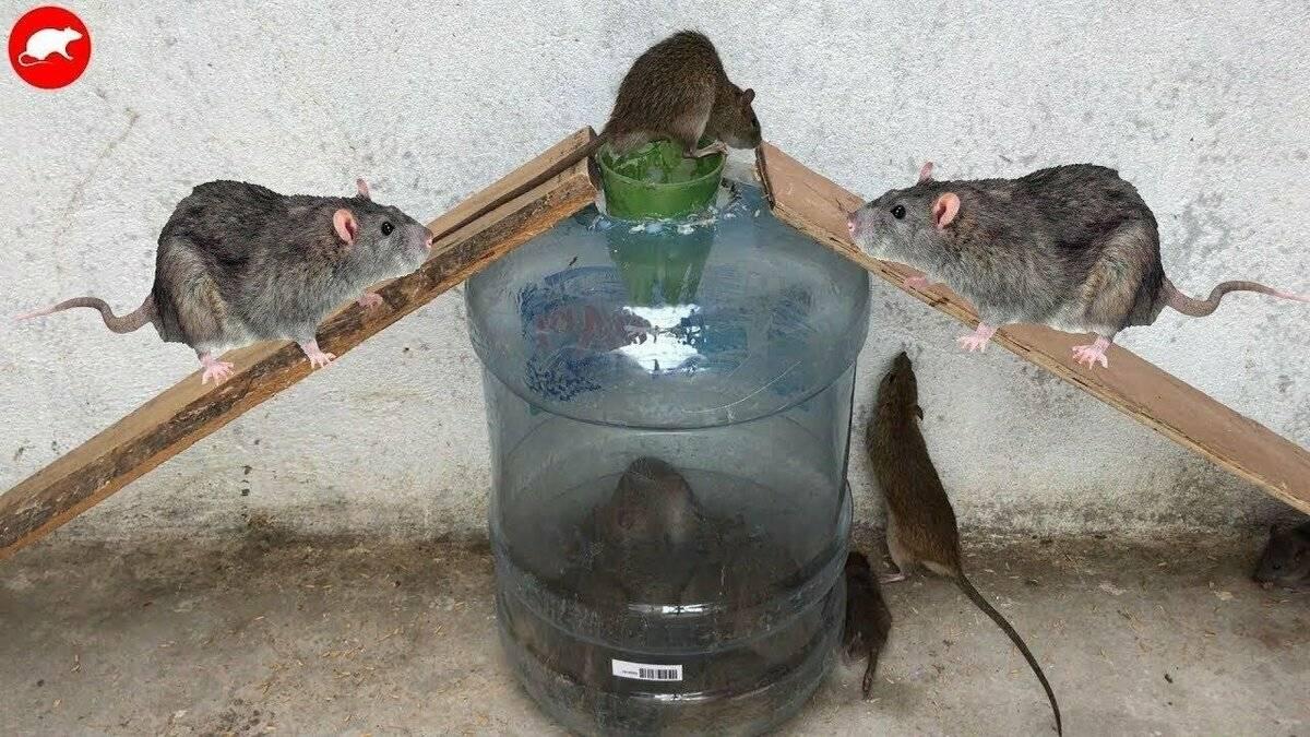 Как избавиться от крыс в домашних условиях при помощи народных средств и специальных ядов?
