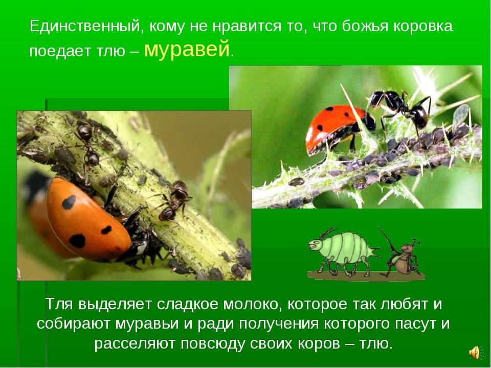 Кто из насекомых и других животных ест тлю?