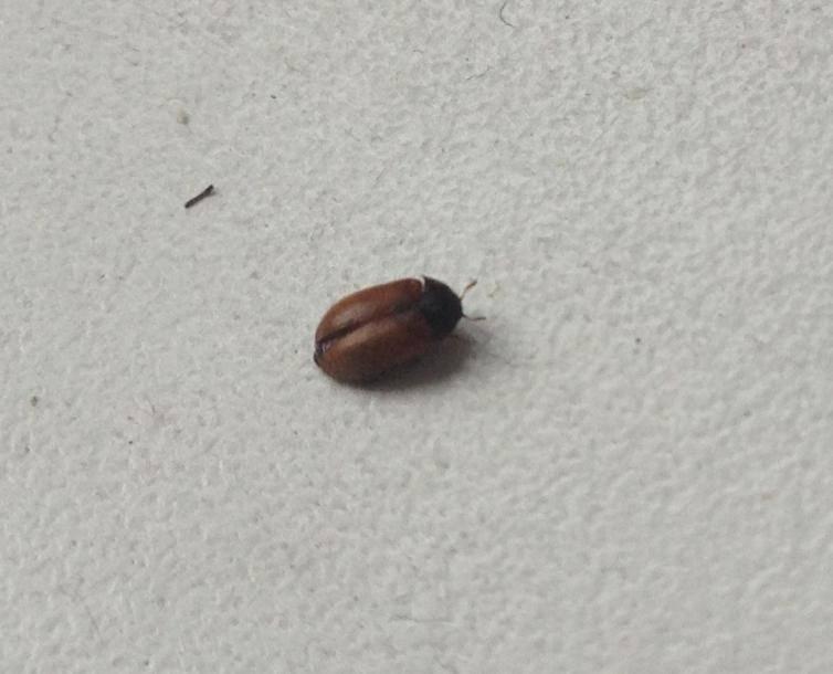 Маленькие коричневые жучки в квартире – или попросту кожееды