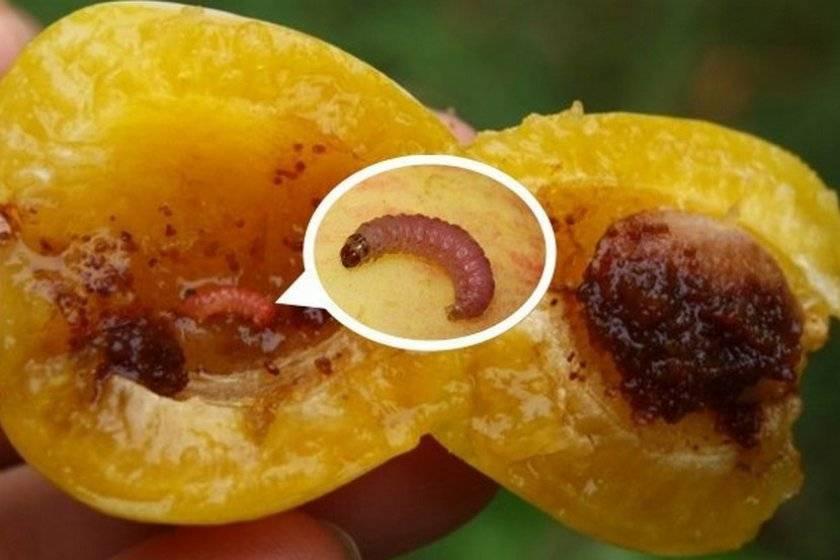 Плодожорка: как избавиться, борьба, препараты и лучшие средства