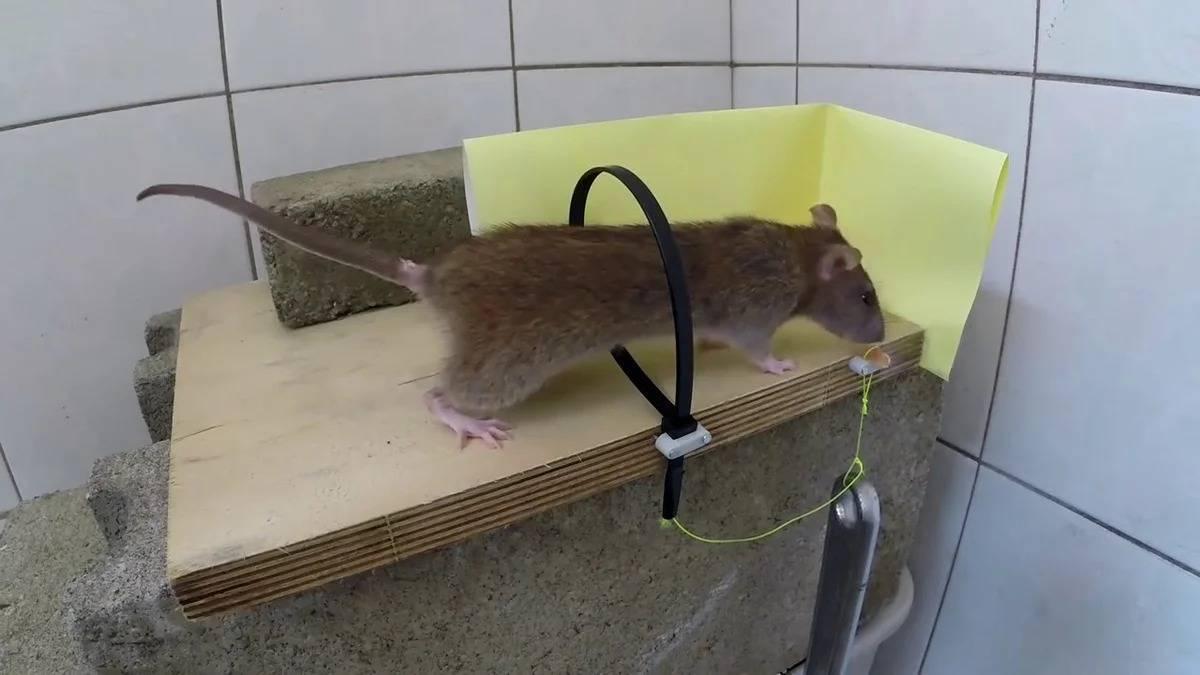 Как поймать крысу в доме или квартире?
