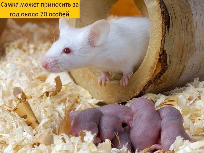 Все о детенышах мышей
