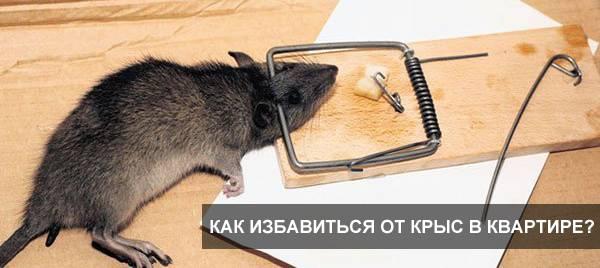В машине завелись крысы – как избавиться от них