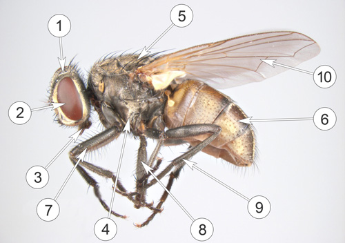 Комнатная муха: сколько живет, откуда появляется и пр