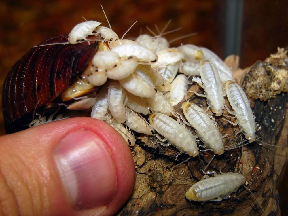 Жизненный цикл и размножение тараканов