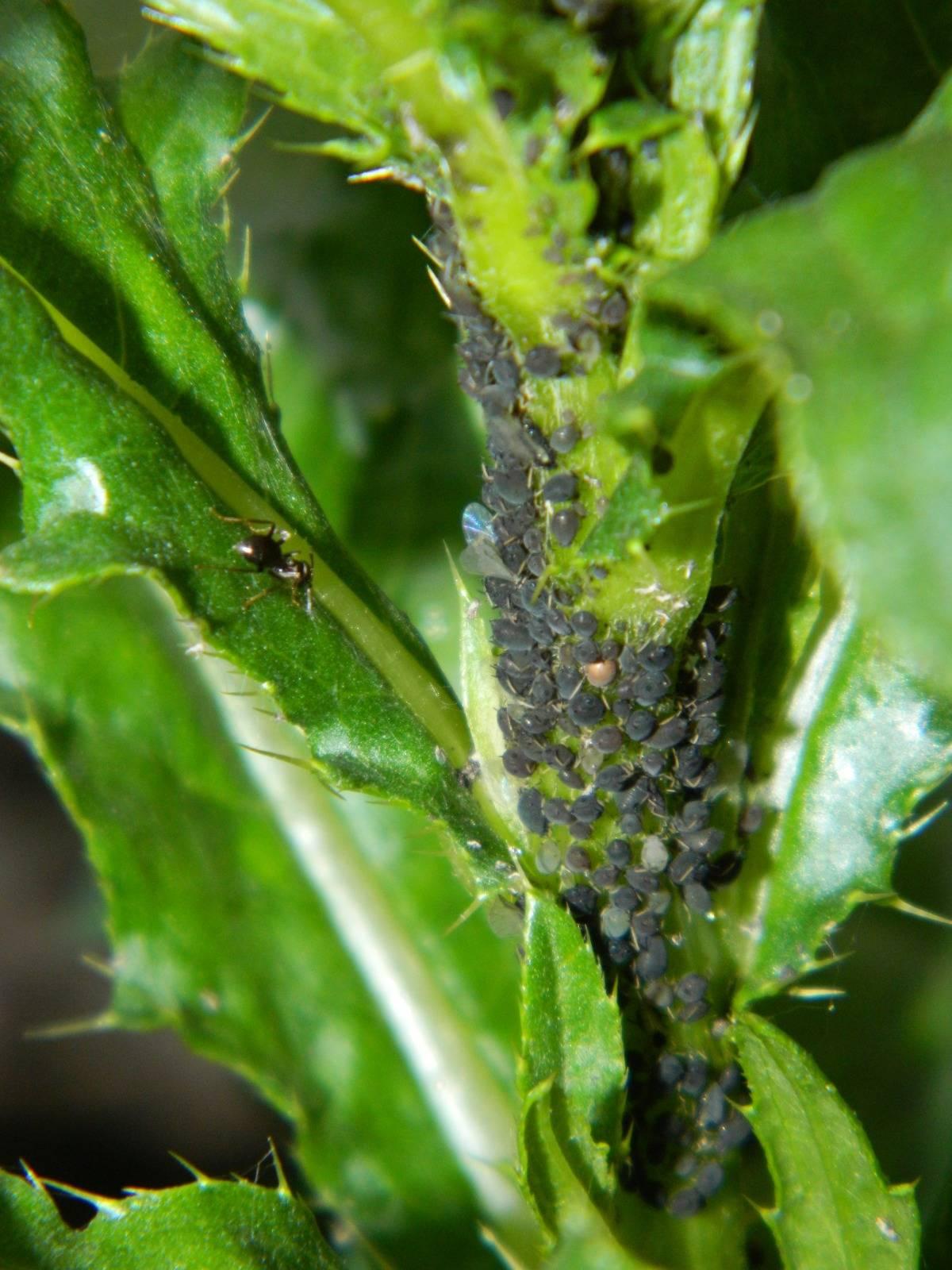 Кто ест тлю из насекомых и животных