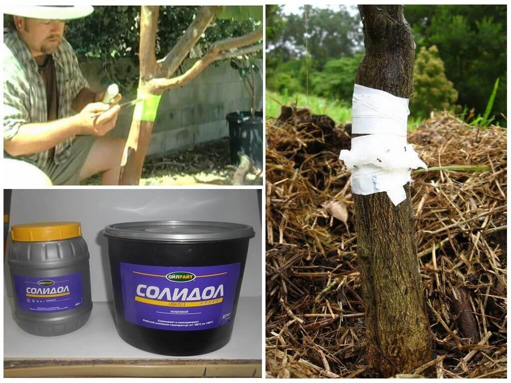 Как избавиться от муравьев и тли на деревьях