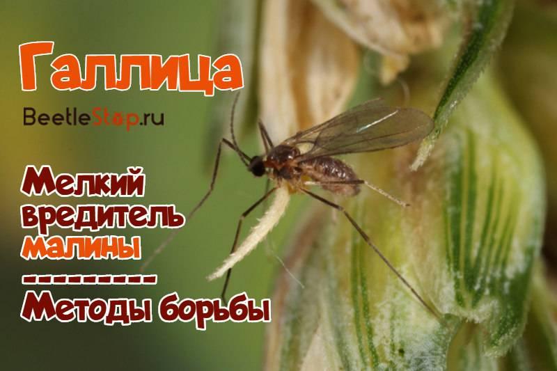 Галлица— мелкий комарик, большой вред для малины