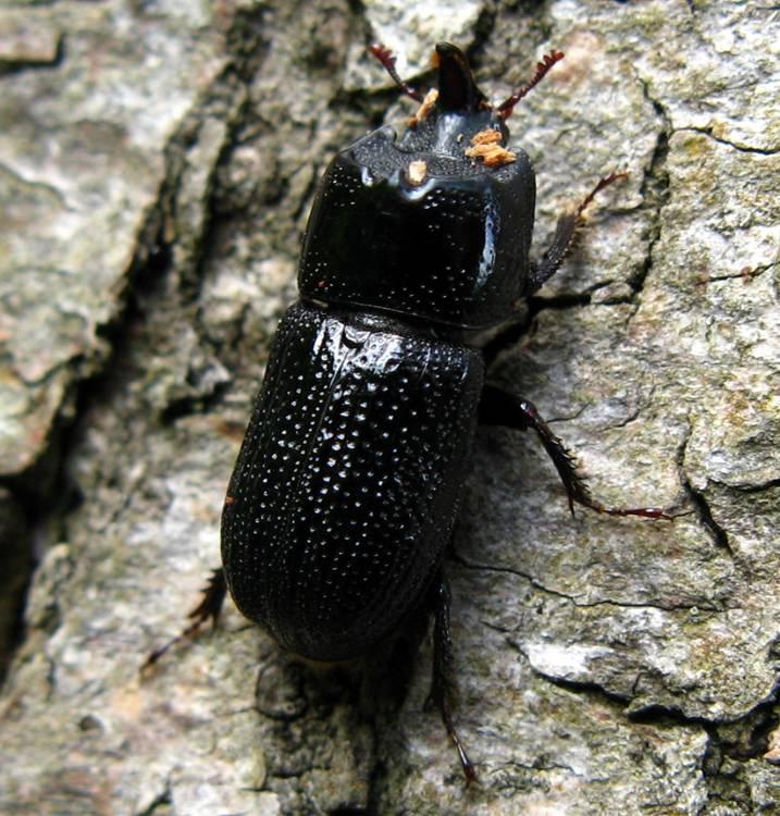 Жук дровосек. описание, особенности, виды и среда обитания жука дровосека | живность.ру