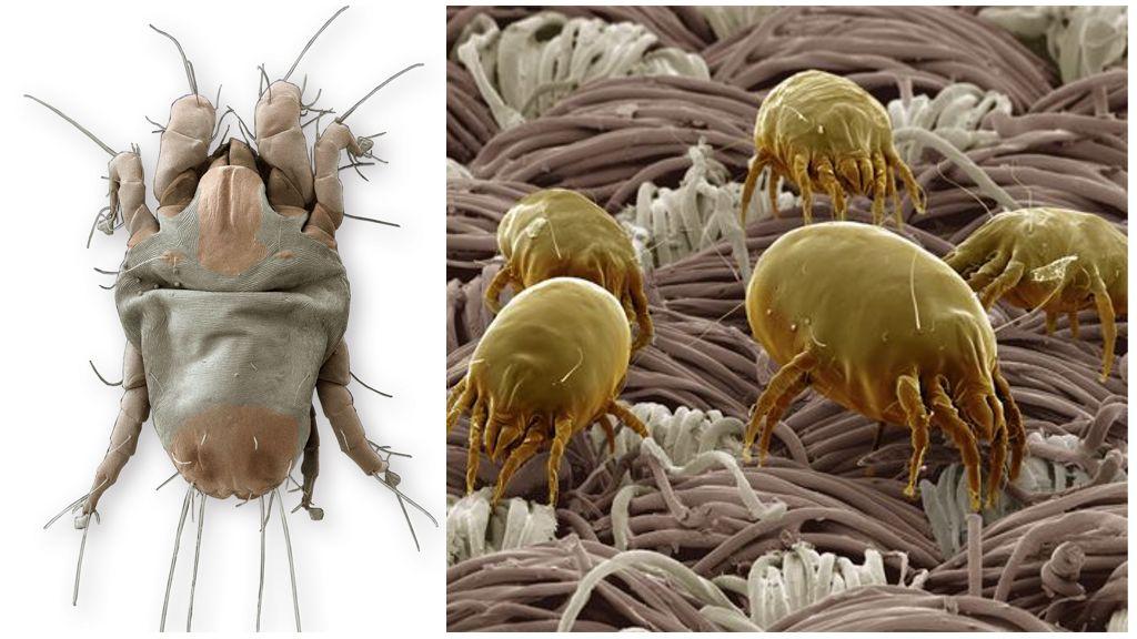 Перьевые клещи в подушках: симптомы и лечение