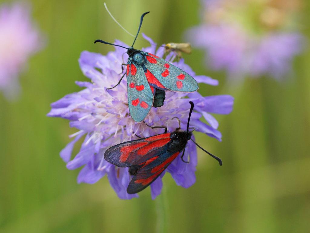 Гусеница и бабочка боярышницы - фото и описание, как бороться