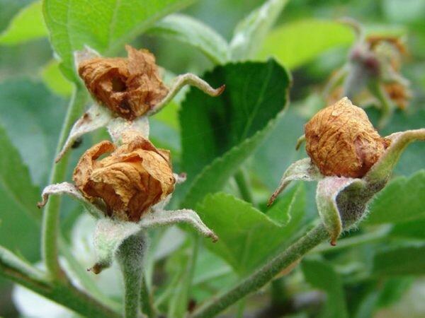 Яблоневый цветоед: описание вредителя, первые признаки появления, способы борьбы