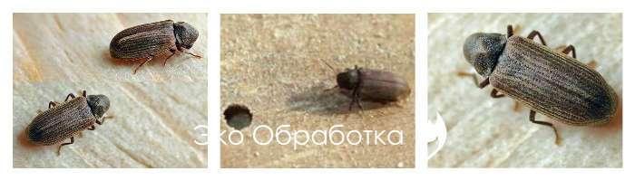 Как избавиться от древесных жуков в квартире, вред жука древоточца, эффективные средства против древесных жуков, химические и народные способы избавления от жуков-древоточцев, профилактика повреждений древесины жучком
