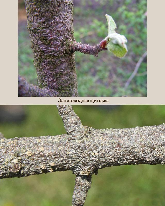 Запятовидная щитовка — как избавиться от садового вредителя