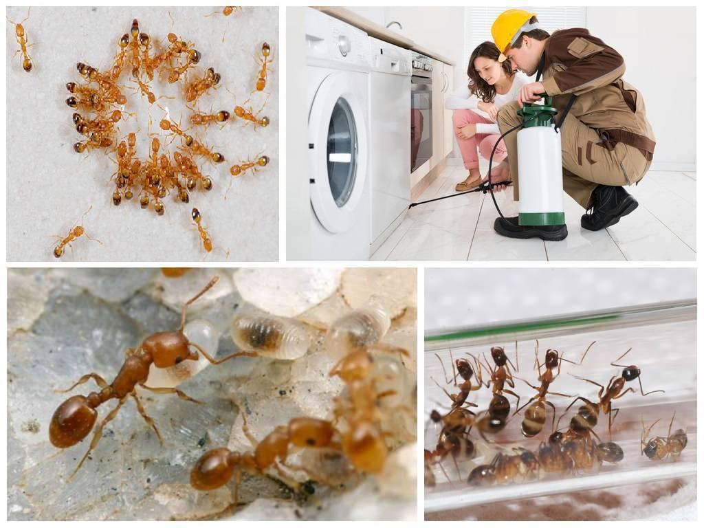 Фараонов муравей, откуда появился в квартире и как его вывести?