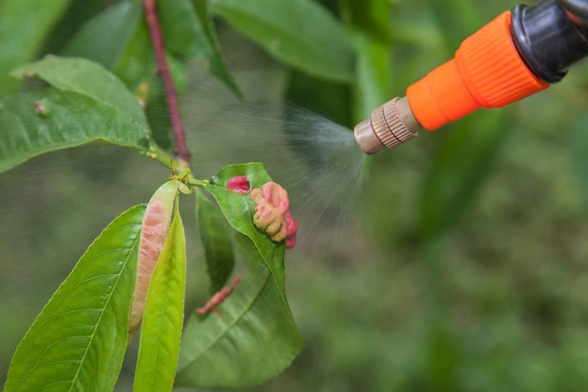 Тля на персике: чем обработать и как избавиться